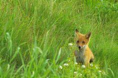 Hokkaido Fox!!!