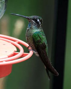 Ways to Attract and Feed More Hummingbirds on http://www.hortmag.com