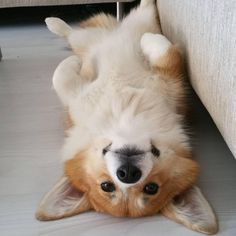 Cute Corgi Dog Pictures You Will Love - ♥ cute animals ♥ - Hunde bilder Cute Puppies, Cute Dogs, Dogs And Puppies, Cute Animals Puppies, Awesome Dogs, Funny Dogs, Cute Funny Animals, Cute Baby Animals, Corgi Dog