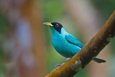 Green Honeycreeper (Chlorophanes spiza) Male by Bertrando Campos