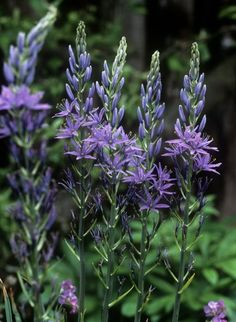 Find help & information on Camassia leichtlinii subsp. suksdorfii Caerulea Group camass Caerulea Group from the RHS Tree Identification, Tall Flowers, Shade Plants, Planting Flowers, Balcony Gardening, Group, Nature, Trees, Yard