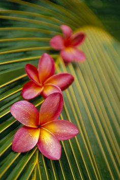 Pink plumerias on a palm frond. What else says Aloha?!