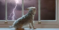 Thunderstorm phobias can send dogs hiding under their beds and shaking in fear! Find out how to help calm him, plus remedies for dogs fear of thunder!