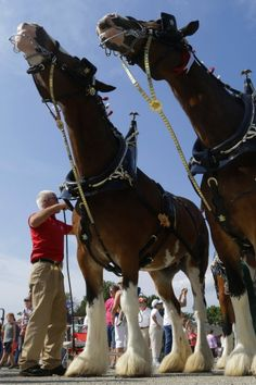 Budweiser Clydesdales to make several stops in Lehigh Valley this week Big Horses, Types Of Horses, Horse Love, Most Beautiful Horses, Animals Beautiful, Cute Animals, Clydesdale Horses Budweiser, Budweiser Commercial, Shire Horse