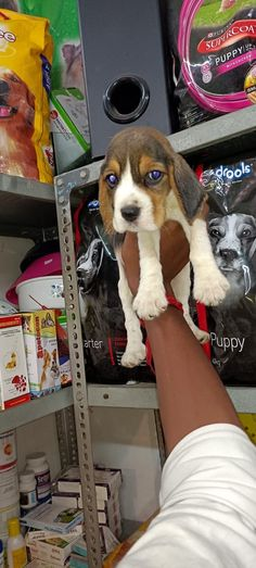 For more information please CONTACT-8420355767 Best Puppies, Cute Puppies, Dogs And Puppies, Dog Belt, Cat Shampoo, Persian Kittens, Black Lab Puppies, Puppy Food, Beagle Puppy