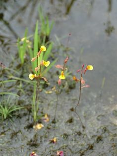 The lovely Utricularia odorata. |  widespread in former Indochina