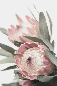 Protea Photography Print Wall Art, Australian Native Pink Flower Photograph, Printable Botanical Poster, Floral Digital Print
