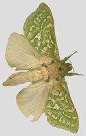 Puriri moth - lives 7 years