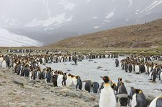 Home to thousands of King penguins and hundreds of seals. A most breathtaking place. King Penguin, Georgia, Saints, Day, Places, Blog, Blogging, Lugares