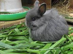 *ADORABLE PUREBRED JERSEY WOOLY RABBITS* If you are interested in rabbit breeds see my Bunnies, Rabbits- Breeds & Bunnies, Rabbits, Breeds 2