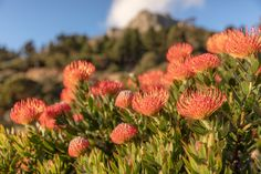 Photograph by Sacha Specker President Hotel, King Protea, Spring Flowers, West Coast, Cape, Photograph, Bloom, Inspired, World