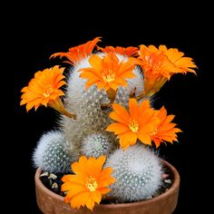 Orange Revolution by Andrey Zheludev on Cacti And Succulents, Planting Succulents, Cactus Plants, Planting Flowers, Cactus Blossoms, Cactus Flower, Orange Revolution, South African Flowers, Cactus Farm
