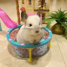 """""""EVERYONE deserves a spa day.""""   Bubu The Chinchilla Will Inspire You To Live A Better Life"""