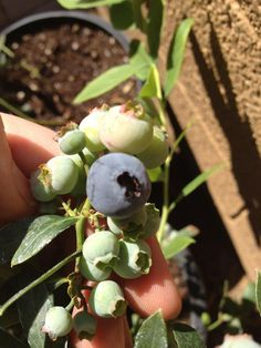 Growing blueberries in your desert garden. Yes you can!!!! Maybe we will try again