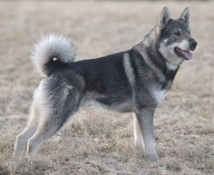 Jämthund (Swedish elk hound)  is a breed of dog of the Spitz type that are found in Northern Europe. The Jämthund is eponymous to Jämtland, a province in the middle of Sweden. The dog is described as having a wolf-like appearance.