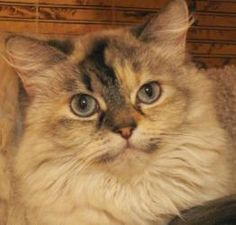 Netti is an adoptable Ragdoll Cat in San Antonio, TX. Netti is a 3-5 yr old seal-cream lynx point ragdoll/himalayan. She is fully vetted and ready to go to her forever home. Netti was rescued, along w...
