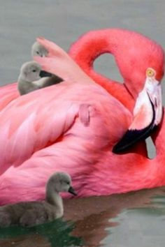 (F) is for Flamingos Pretty Birds, Love Birds, Beautiful Birds, Animals Beautiful, Flamingo Photo, Flamingo Art, Pink Flamingos, Flamingo Painting, Animals And Pets