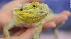 A keeper holds a bearded dragon at an animal shelter in Hamburg, Germany, where the senate is planning to restrict the keeping of dangerous and exotic animals.
