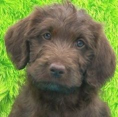 Labradoodle puppies - Oh I need one. I know my Labs will understand. Cute Puppies, Cute Dogs, Dogs And Puppies, Doggies, Animals And Pets, Baby Animals, Cute Animals, Australian Labradoodle, Labradoodle Puppies