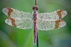 Dew soaked dragonfly