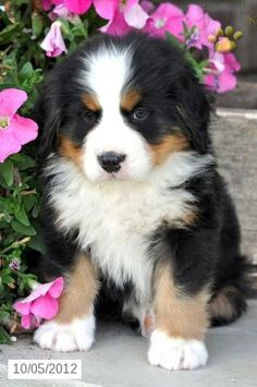 Oscar - Bernese Mountain Dog Puppy for Sale in Sugar Creek, OH - Bernese Mountain Dog - Puppy for Sale