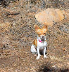 LOST NAME Little DESCRIPTION Female, Tea cup Chihuahua AREA LAST SEEN Glendale, AZ 85302 ADDRESS LAST SEEN 5131 West Diana Avenue, Glendale, AZ, United States PHONE (623) 201-9833