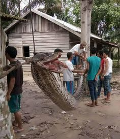 Perdió un brazo en un combate cuerpo a cuerpo con una pitón gigante, pero la derrotó  Robert Nababan, un guardia de 37 años, casi muere en su intento de quitar a la enorme serpiente de un camino en Indonesia