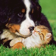 Peace and love❤❤❤❤ #Bernese and #kitten