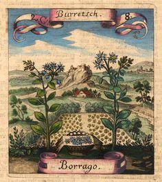 Burretsch [Pflanzenkupferstich]  Handcolored copper-engraving by M. Merian published first 1646 in der 'Fruchtbringenden Gesellschaft Nahmen'. Frankfurt, A. Heinscheidt 1719.