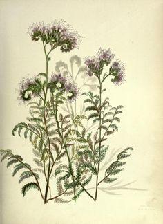 Wild Heliotrope ~ Wild flowers of the Pacific coast, 1887.