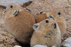 I wonder if the PIKACHU from pokemom was inspired by these fellaz...  The plateau pikas,scientifically called ochotona curzoniaes, are related to the rabbit and native to the Qinghai-Tibetan plateau.(Photo:Old Tibet Photography)