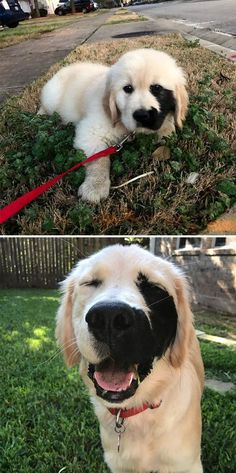 This Golden Retriever Has A Black Birthmark On The Left Side Of His Face #goldenretriever