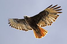 68 trendy Ideas for tattoo feather birds red tailed hawk Hawk Wings, Bird Wings, Wings Drawing, Cat Drawing, All Birds, Birds Of Prey, Hawk Feathers, Hawk Tattoo, Bird People