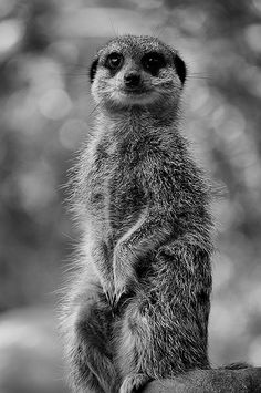Black and White version of a shot that I took from a visit to Bristol Zoo during the summer. Nature Animals, Baby Animals, Cute Animals, Beautiful Creatures, Animals Beautiful, Bristol Zoo, Foto Portrait, All Gods Creatures, Animals Of The World