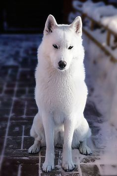Demidoff Teona Snow Princess aka Thyone - SAVE THE WOLVES