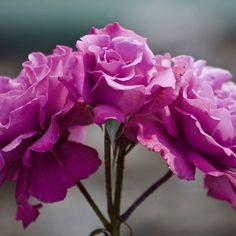 #rose #roses #pink #crimson. #flowers #flowerslovers #Photographer #flower  #petal #petals #nature #beautiful #love #pretty #plants #blossom #sopretty #spring  #flowerstagram #flowersofinstagram  #botanical #floral #florals #insta_pick_blossom #flowermagic #instablooms #bloom #blooms #botanical #floweroftheday
