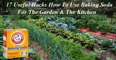 Baking soda or the 'wonder snow-white powder' has a variety of uses in households. It battles powdery mildew on roses in the yard or patio, it helps get the strong smell of onion and garlic off your hands, it disinfects all the surfaces it comes into touch…  Go on to learn about the ways you ...