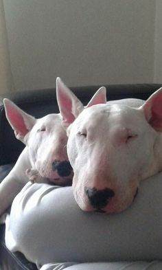 Uplifting So You Want A American Pit Bull Terrier Ideas. Fabulous So You Want A American Pit Bull Terrier Ideas. Mini Bull Terriers, English Bull Terriers, Bull Terrier Dog, Best Dog Breeds, Best Dogs, I Love Dogs, Cute Dogs, Baby Animals, Cute Animals