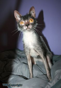 """* * [Lykoi Cats] """"Usually,anyone who made such a remark to meez face would goes to de top of me short list fer strychnine."""""""