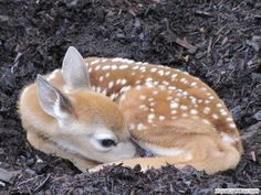 "2013-05-24 Another newborn, this time a Newborn Fawn, photographed by Marjorie Crowley.  ""John and Pat Patten, who live on Cross Street in Bayside, woke up Tuesday morning to find a visitor—a nearly newborn fawn sleeping on a pile of mulch in their yard.  I took this photo about an hour before it went off with its mother."""