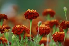 Marigolds offer a pop of color and insect control to any garden. Did you know that they are said to improve tomato flavor as well? Growing Marigolds, Growing Flowers, Planting Flowers, Flower Gardening, Gardening Tips, Plants That Attract Butterflies, How To Attract Hummingbirds, Attracting Hummingbirds, Garden Bugs