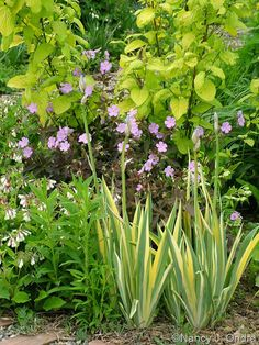 Iris pallida 'Vareigata' with Geranium maculatum 'Espresso' and Cornus sericea subsp. occidentalis 'Sunshine'; Nancy J. Ondra at Hayefield