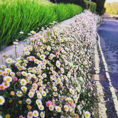 Pretty seaside daisy growing in abundance at Salcombe, Devon.