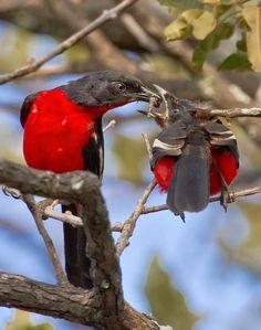 Crimson-breasted Bush-shrikes