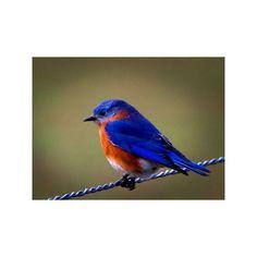 Bluebird of happiness - Birds Wallpaper 525225 - Desktop Nexus Animals ❤ liked on Polyvore featuring animals and birds