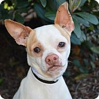 French Bulldog/Chihuahua Mix Dog for adoption in Pittsburg, California - *Othello Boardgame
