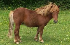 France Shetland Passion : Poneys à vendre