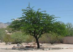 Velvet mesquite. Prosopsis velutina