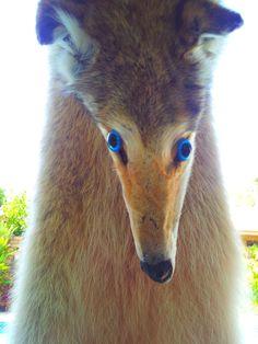 Pennello personalizzato lupo tassidermia pelliccia Pelt caccia volpe lupi Coyote mannaro Wallhanger tappeto Display. $496,00, via Etsy.