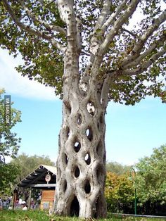 Basket tree planted in the 1900s